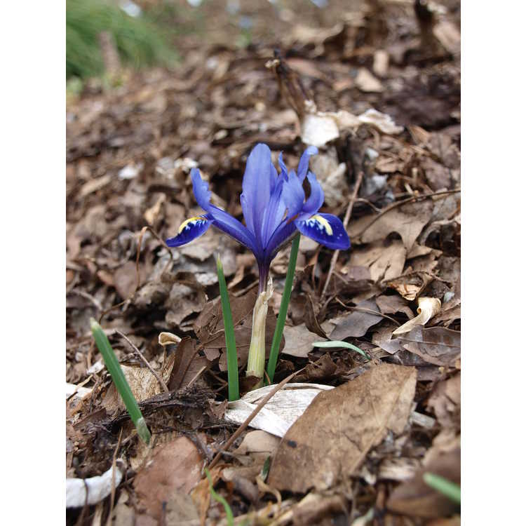 Iris [Reticulata Group] 'Pixie' - netted iris