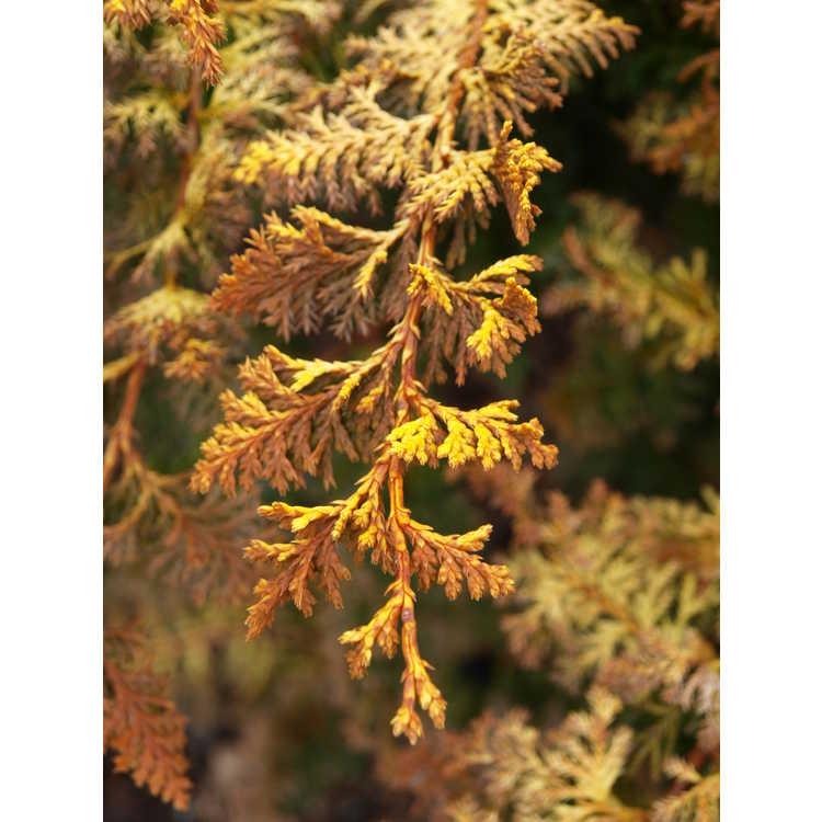 Chamaecyparis obtusa 'Golden Fern' - dwarf Hinoki cypress