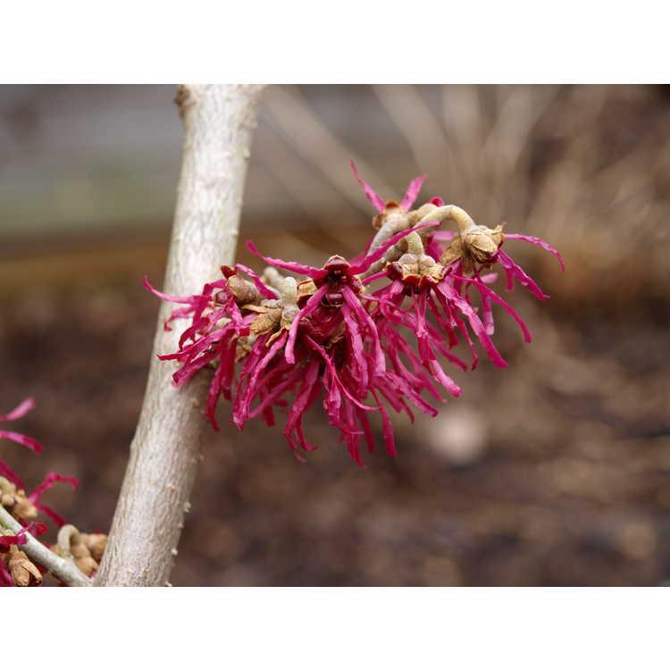 Hamamelis japonica 'Shibamichi Red' - Japanese witchhazel