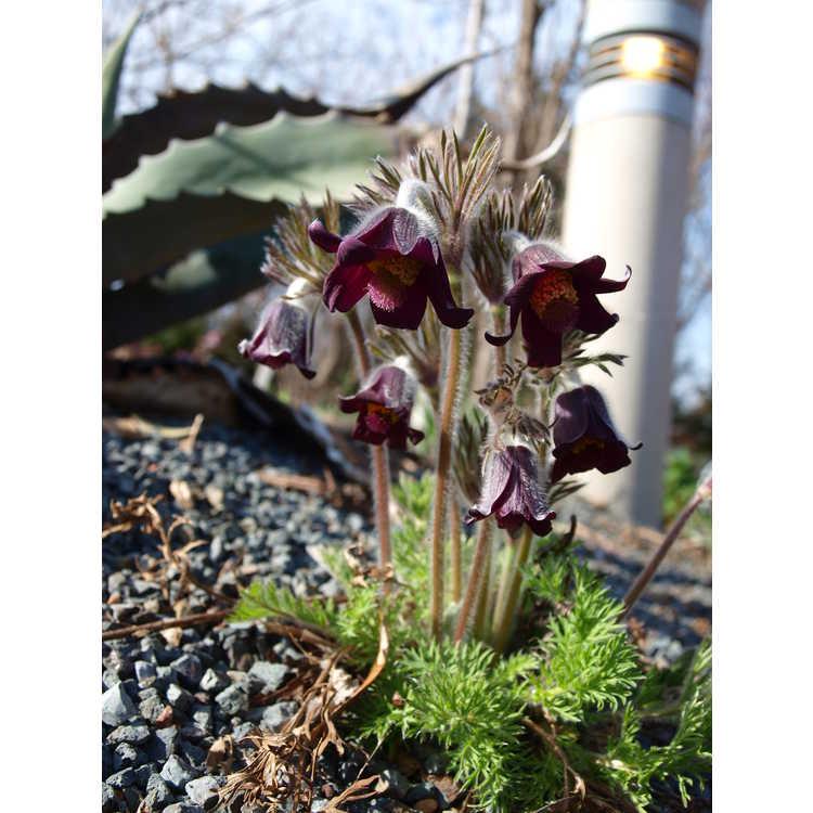 Pulsatilla pratensis subsp. nigricans - pasqueflower