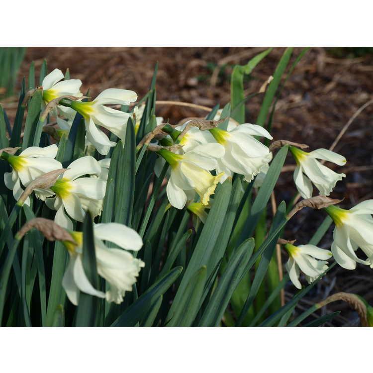 Narcissus pseudonarcissus subsp. moschatus - daffodil