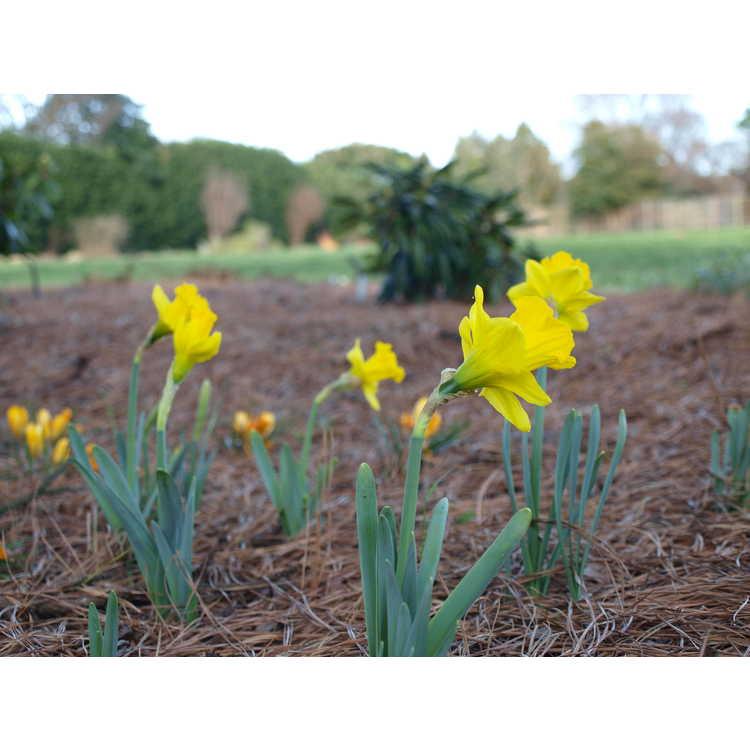 Narcissus obvallaris - Tenby daffodil