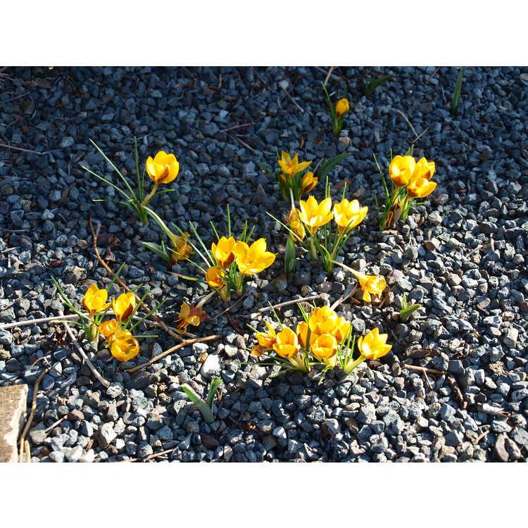 Crocus chrysanthus 'Herald' - spring crocus