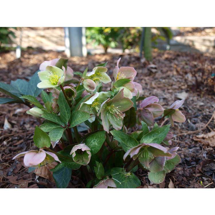 Helleborus ×ballardiae 'Raulston Remembered' - Ballard's hybrid hellebore