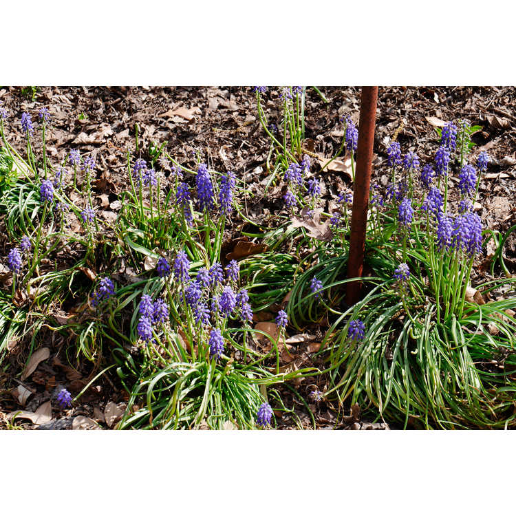 Muscari armeniacum 'Christmas Pearl' - common grape hyacinth