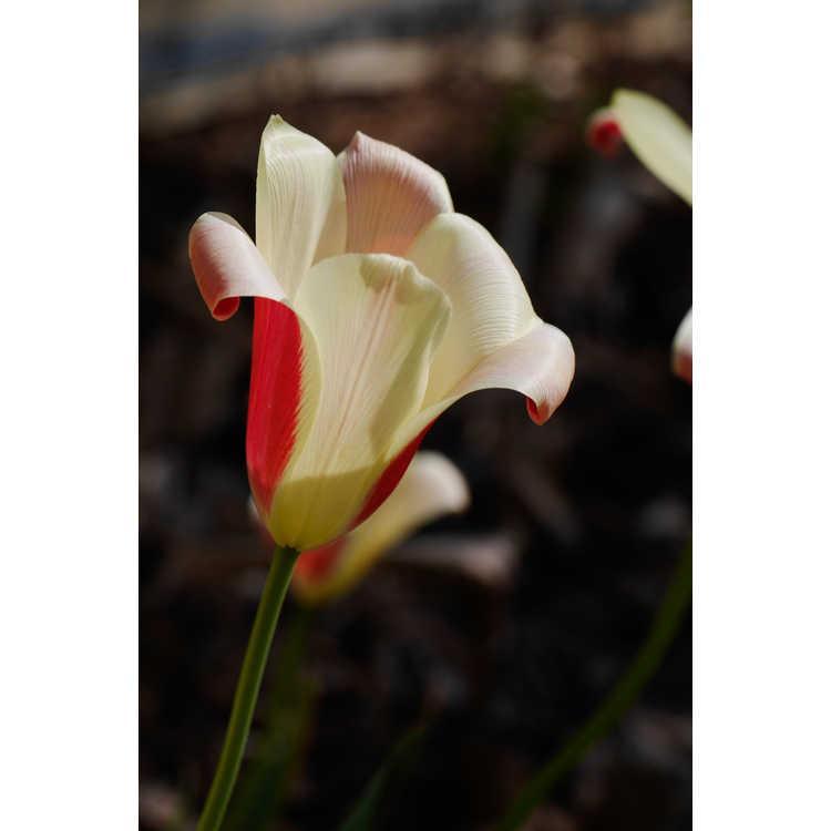 Tulipa clusiana 'Cynthia' - lady tulip