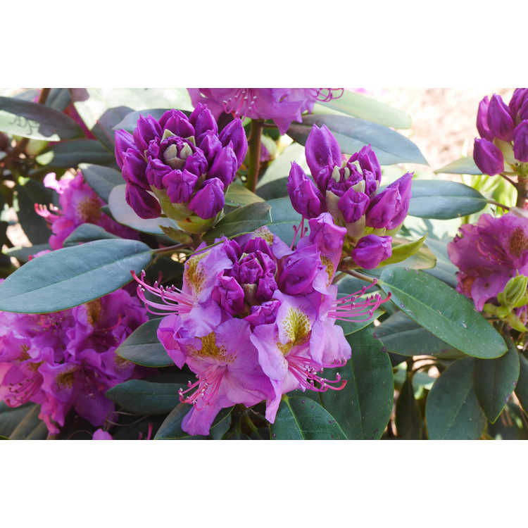 Rhododendron Lavj2011 Handy Man Purple