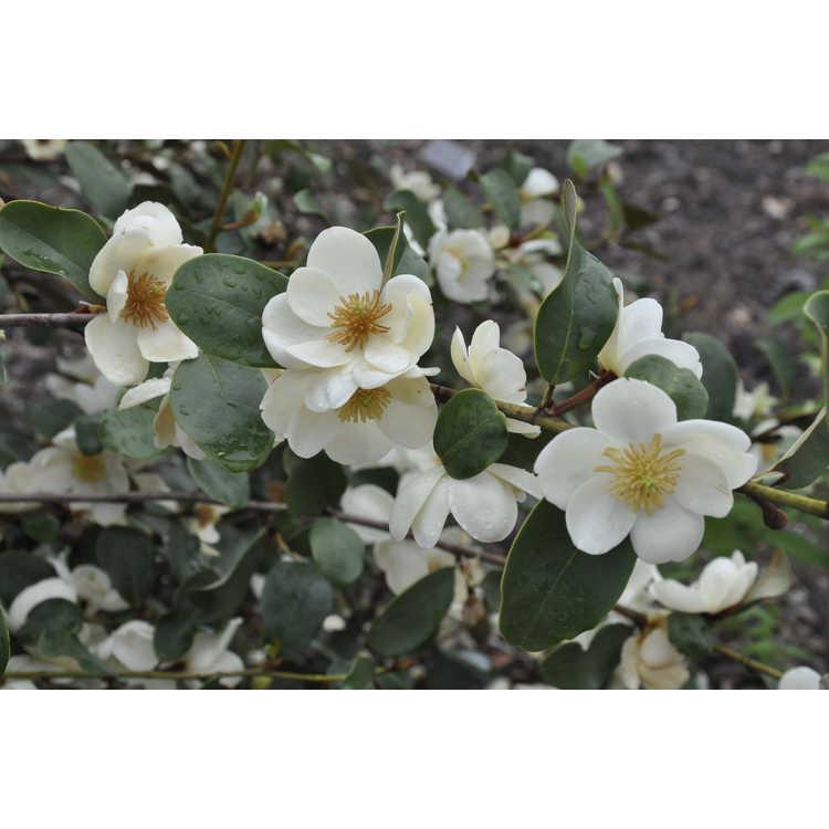 Magnolia laevifolia 'Gail's Favourite' - shrubby michelia