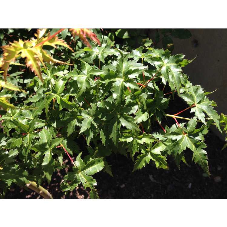 Acer palmatum 'Krazy Krinkle'