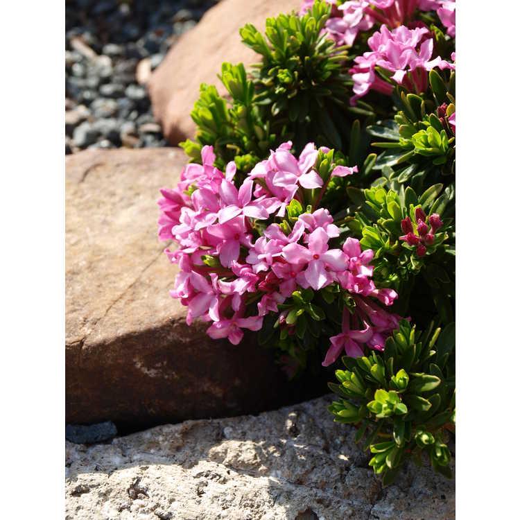 Daphne ×schlyteri - alpine daphne