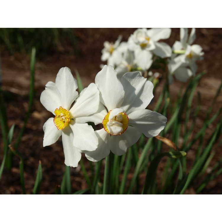 Narcissus Daphne