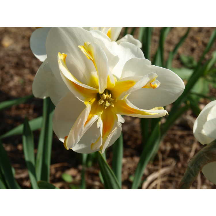 Narcissus Trepolo