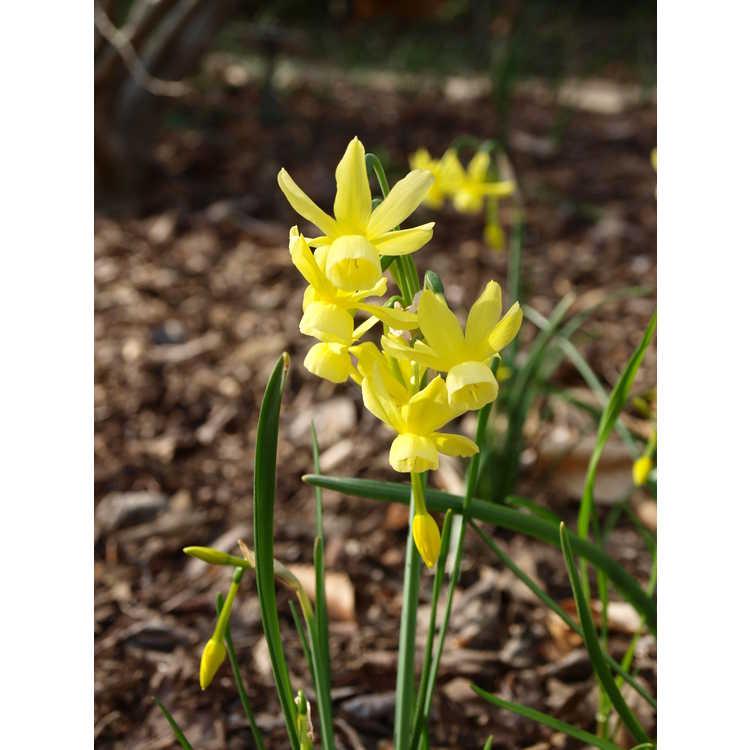 Narcissus 'Hawera' - miniature daffodil