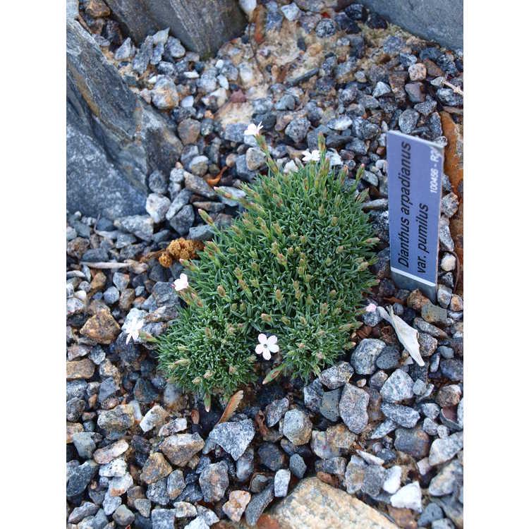 Dianthus arpadianus var. pumilus - Alpine pink