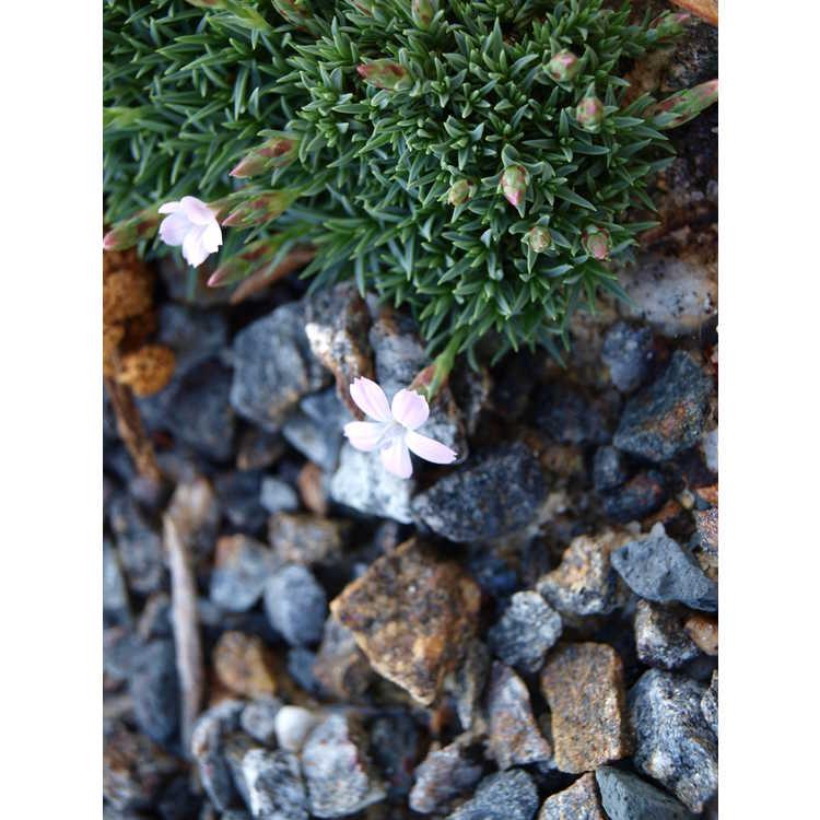 Dianthus arpadianus var. pumilus