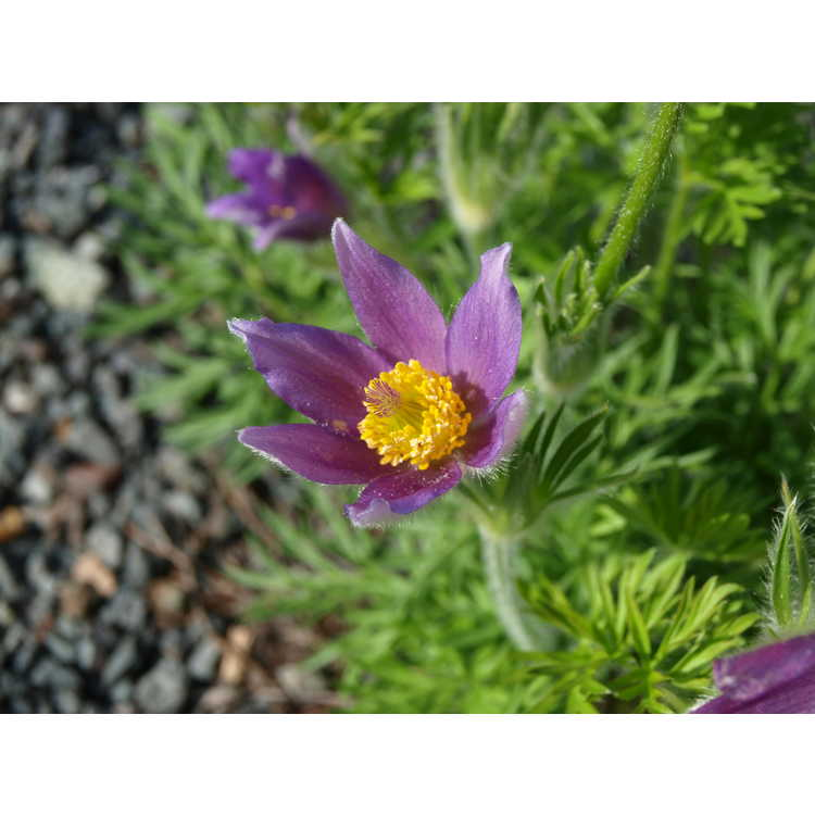 Pulsatilla georgica - pasque flower