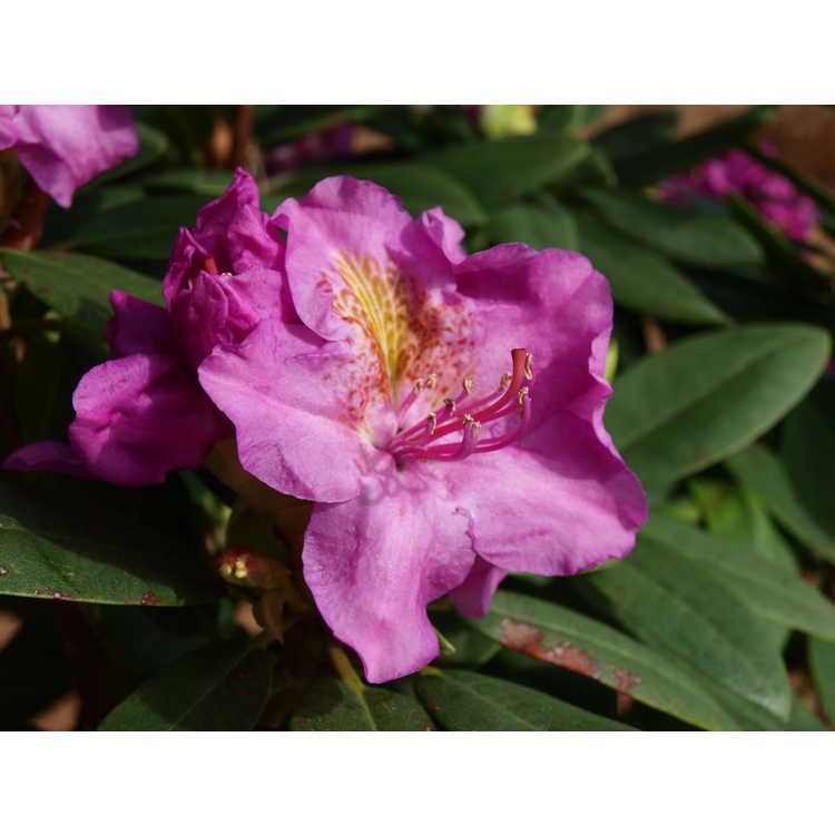 Rhododendron 'Lavj2011'