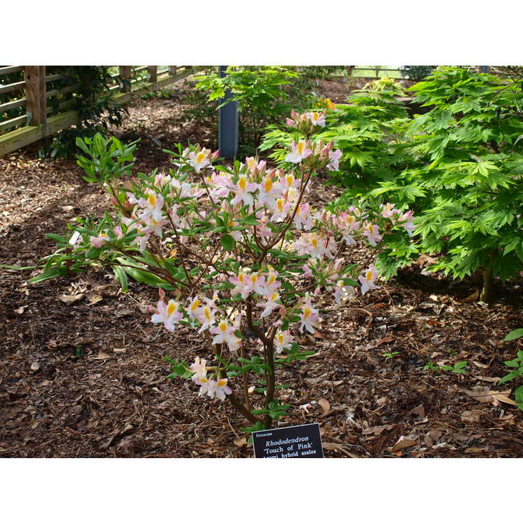Rhododendron Touch of Pink