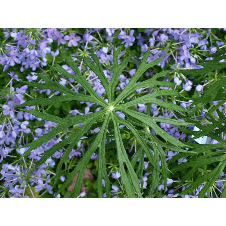 Syneilesis aconitifolia - shredded umbrella plant