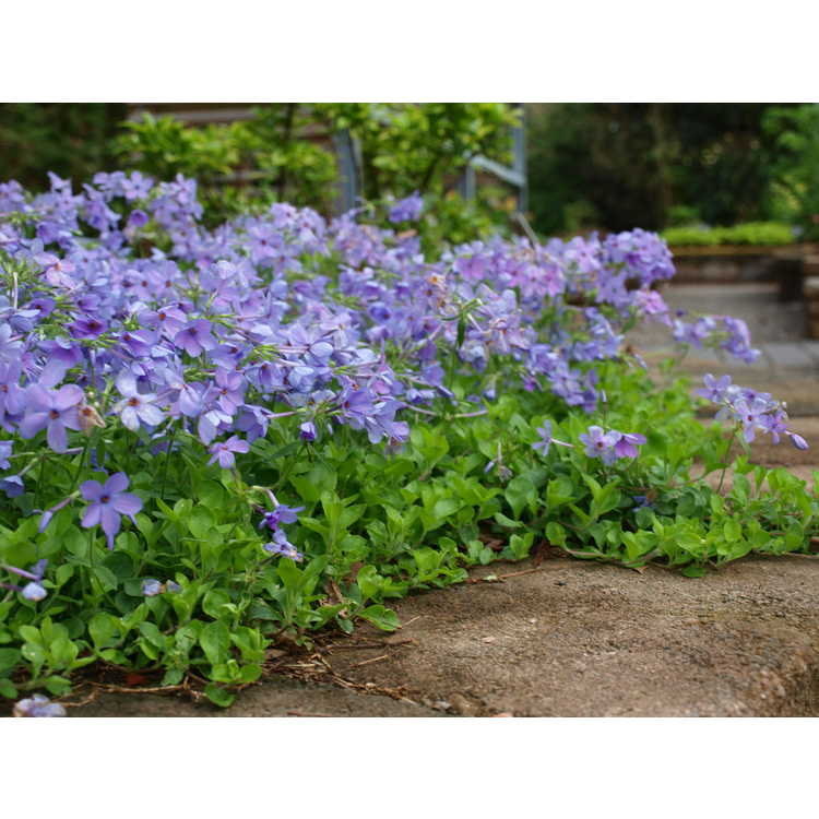 Phlox stolonifera 'Weesie Smith'