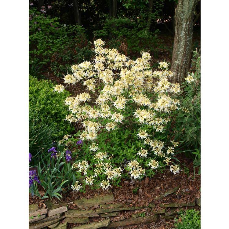 Rhododendron austrinum Alba