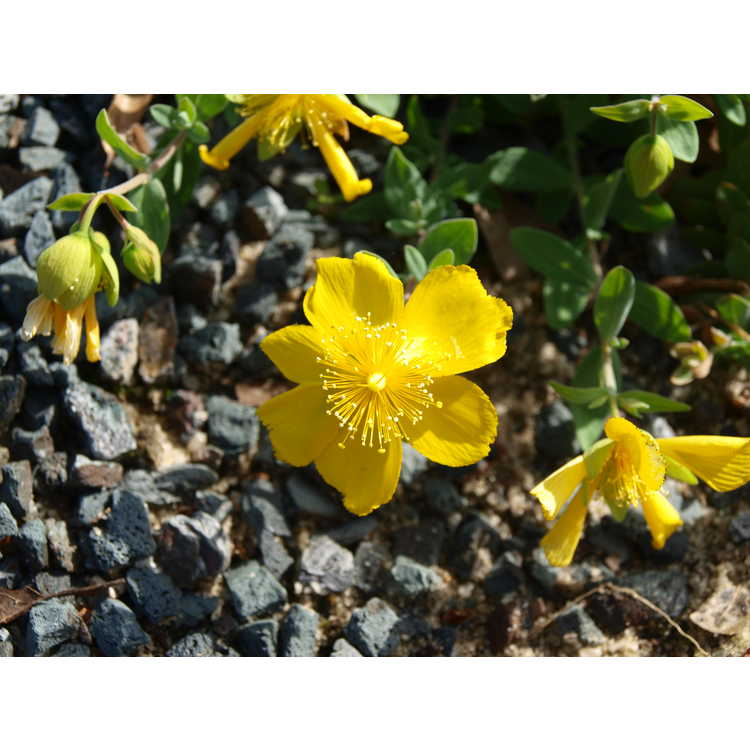 Hypericum cerastioides 'Silvana'