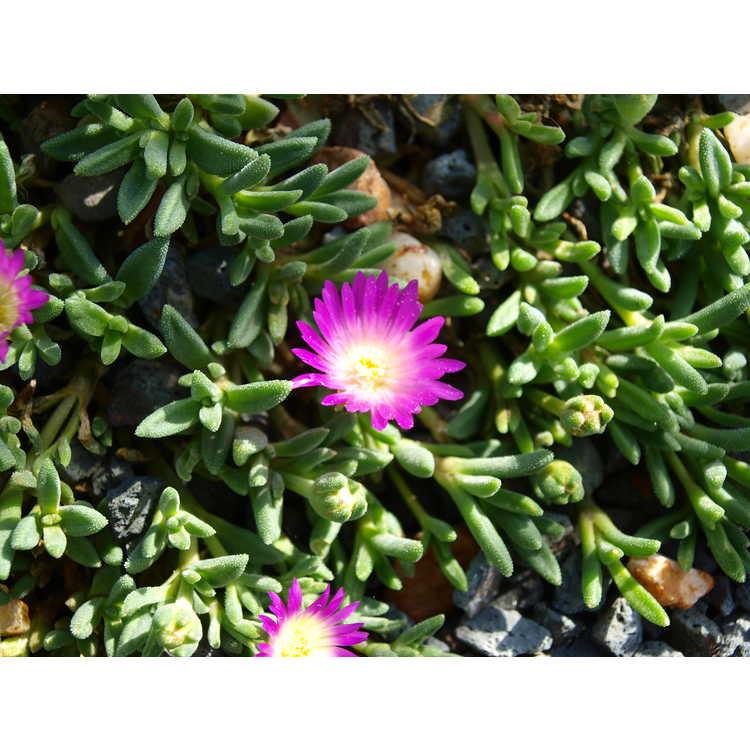 Delosperma (ex. 'Lesotho Pink')