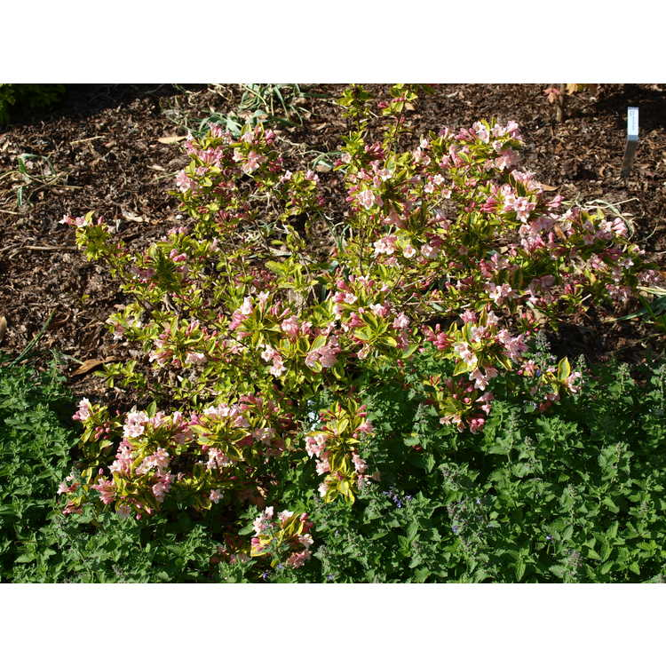 Weigela 'Kolmagira' - Rainbow Sensation hybrid variegated weigela