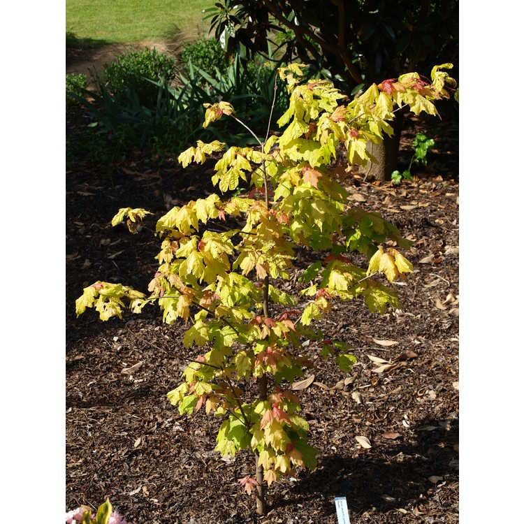 Acer skutchii Tequila Sunrise