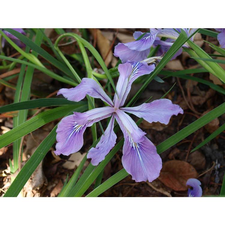 Iris tenax - tough-leaf iris