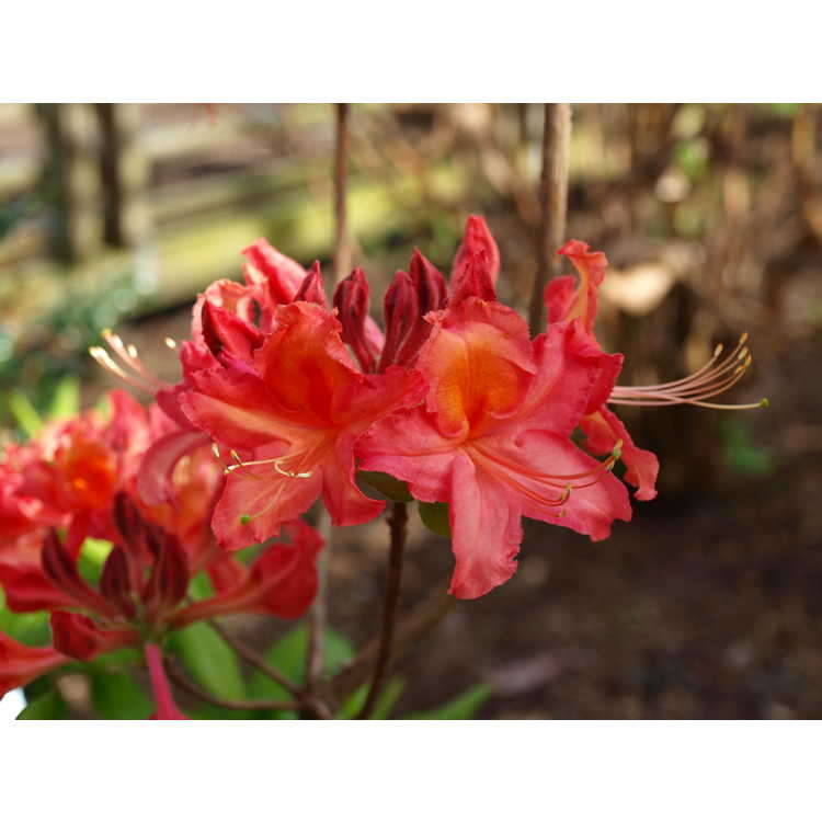 Rhododendron 'Queen's Rose'
