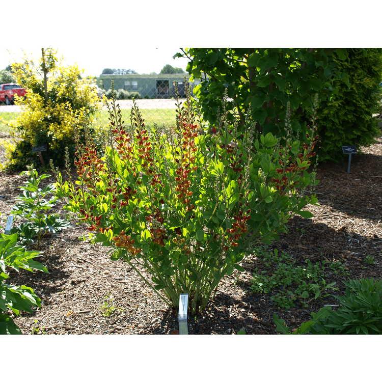 Baptisia 'Cherries Jubilee'