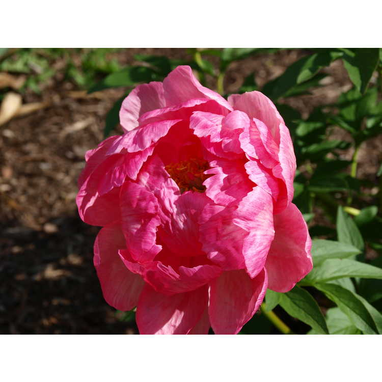 Paeonia Cytherea