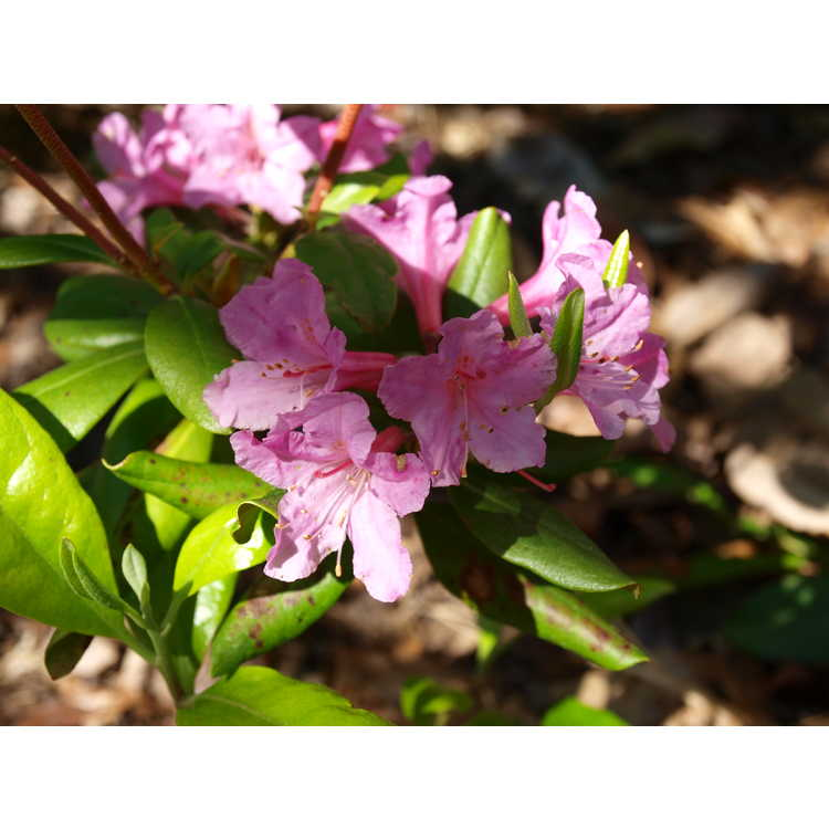 Rhododendron minus 'Southern Cerise' - Piedmont rhododendron