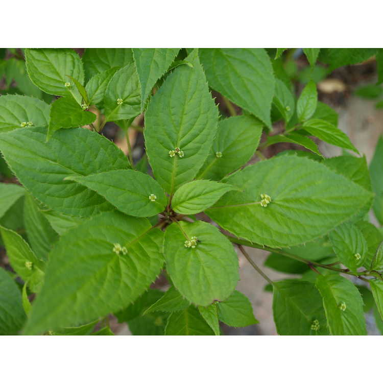 Helwingia japonica