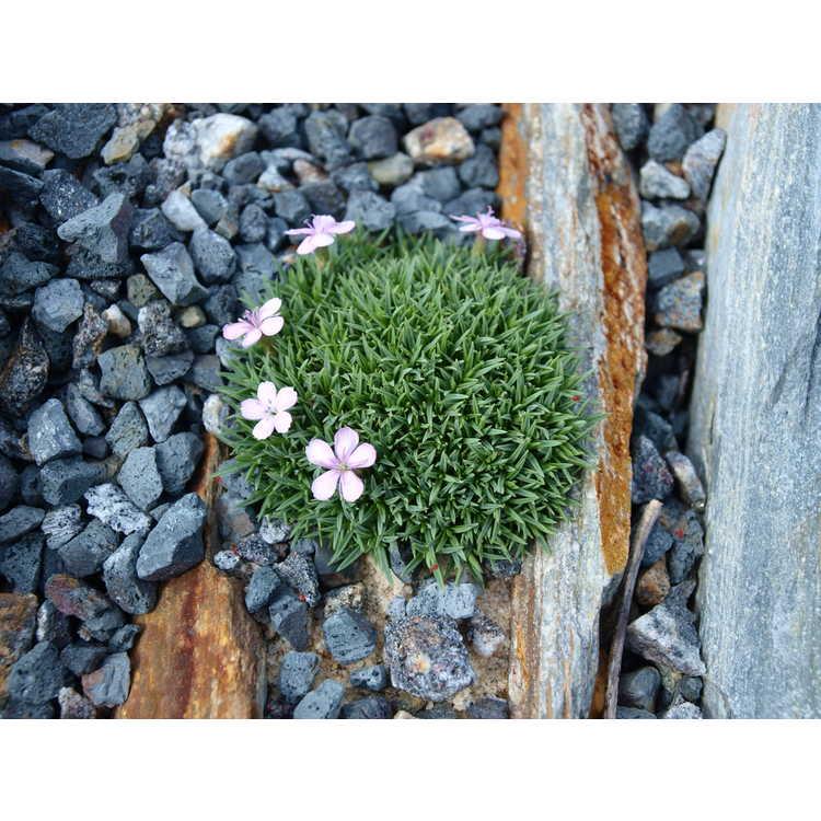 Dianthus ×arvernensis
