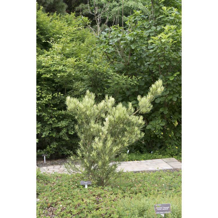 Podocarpus macrophyllus (variegated) - variegated Japanese yew-pine