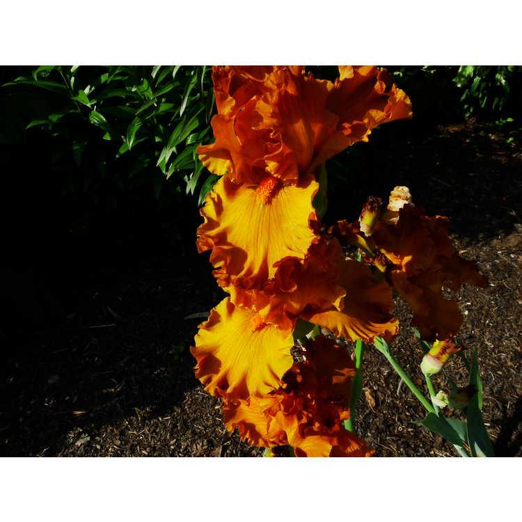 Iris 'Golden Panther'