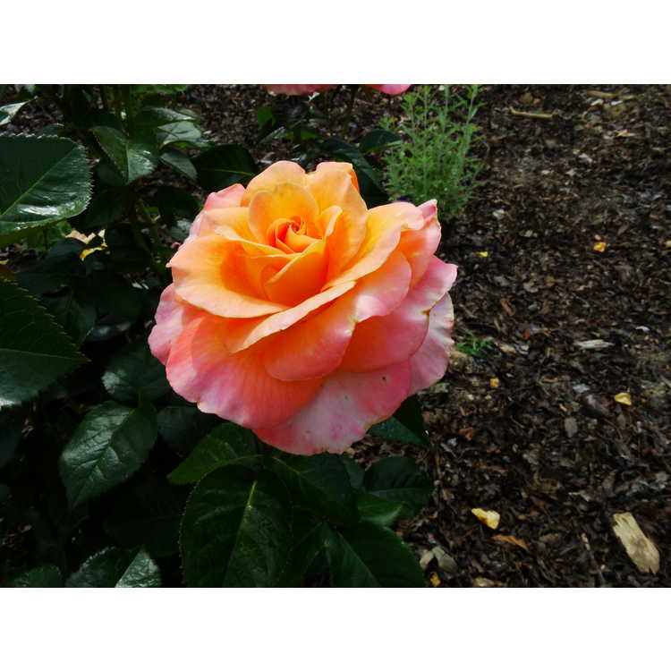 Rosa 'Frycentury'