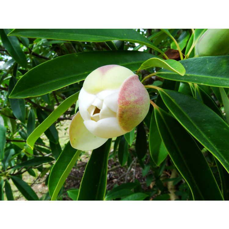 Magnolia yuyuanensis