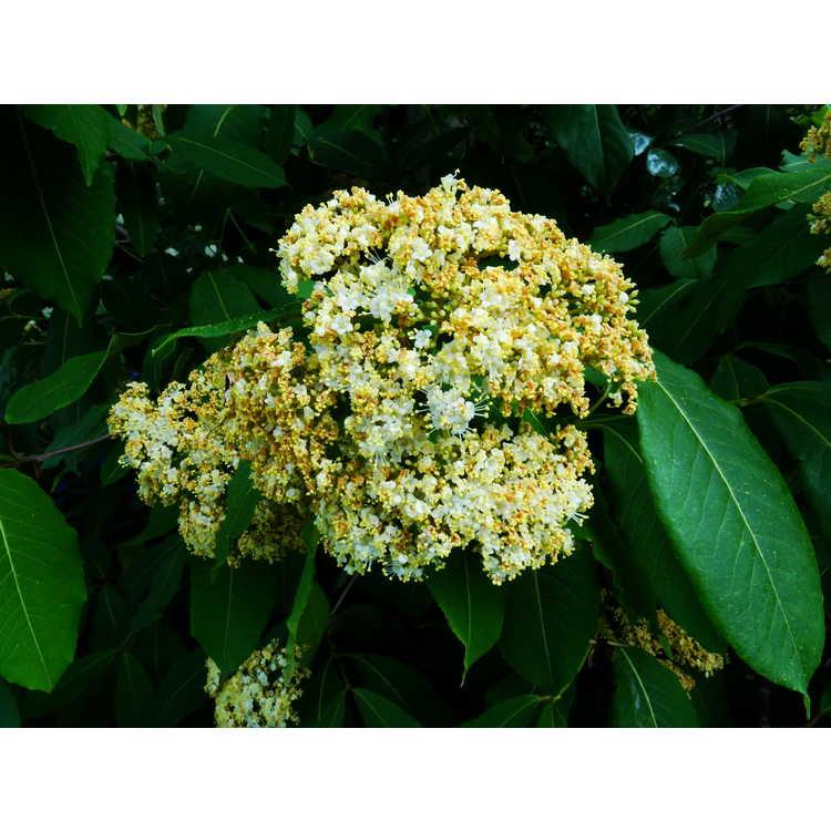 Viburnum cassinoides (Hillier form)