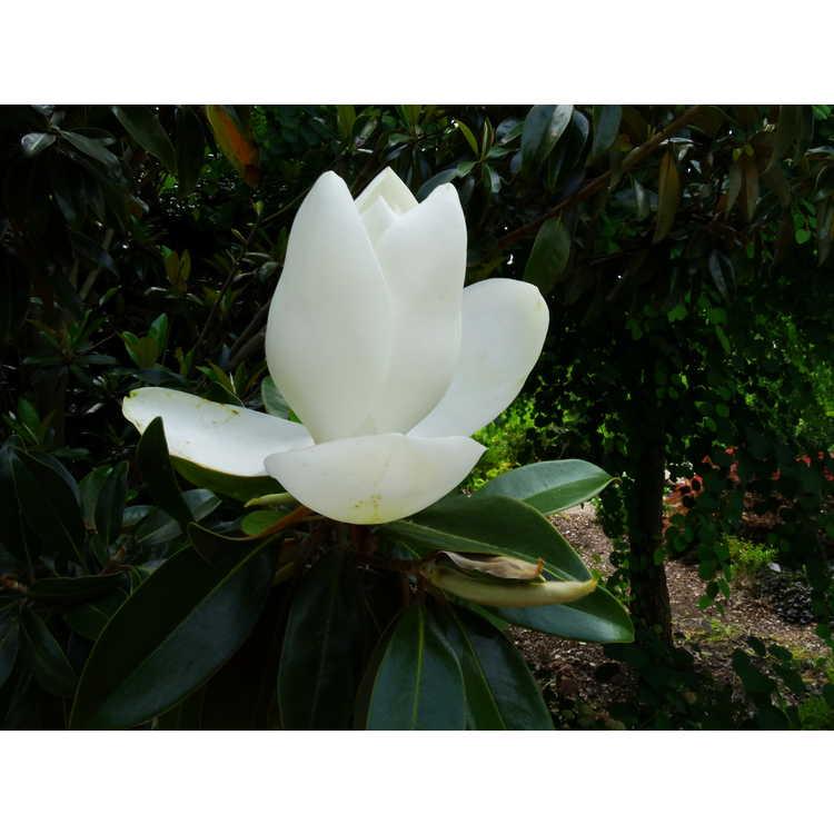 Magnolia grandiflora 'Tmgh' - Alta columnar Southern magnolia