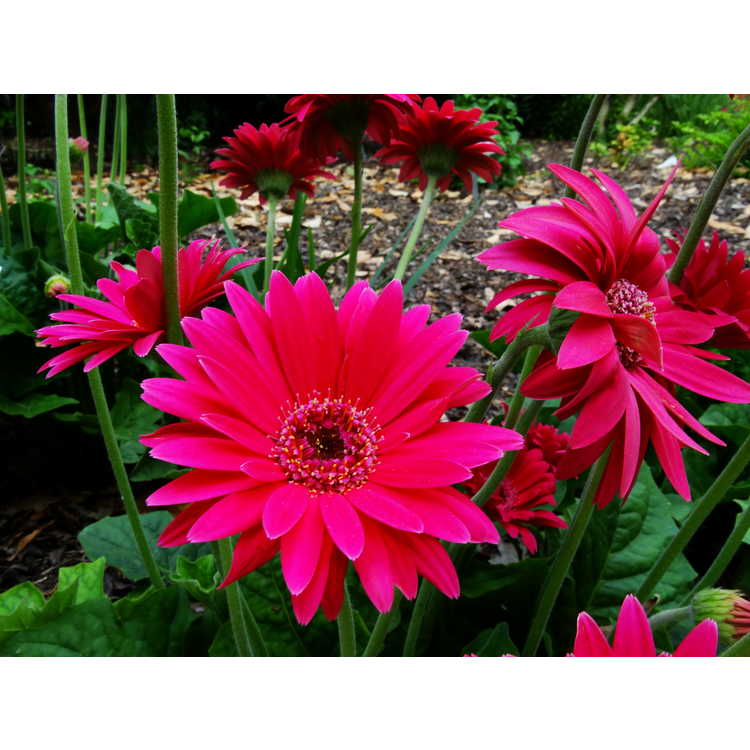 Gerbera - Garvinea Sweet Dreams Gerber daisy