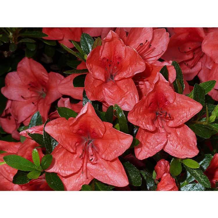 Rhododendron 'Pink Cascade' - Harris hybrid azalea