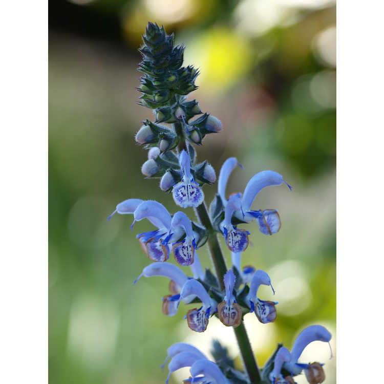 Salvia moorcroftiana S. indica