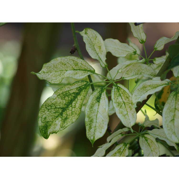 Stauntonia hexaphylla 'Cartwheel' - variegated Japanese stauntonia