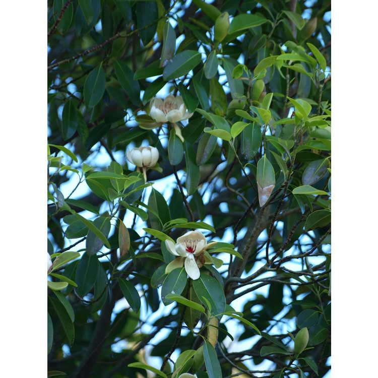 Magnolia lotungensis - eastern joy lotus tree