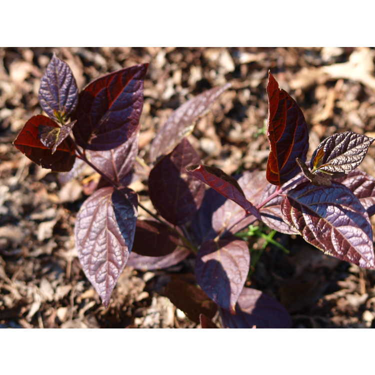 Calycanthus floridus var. glaucus 'Burgundy Spice'