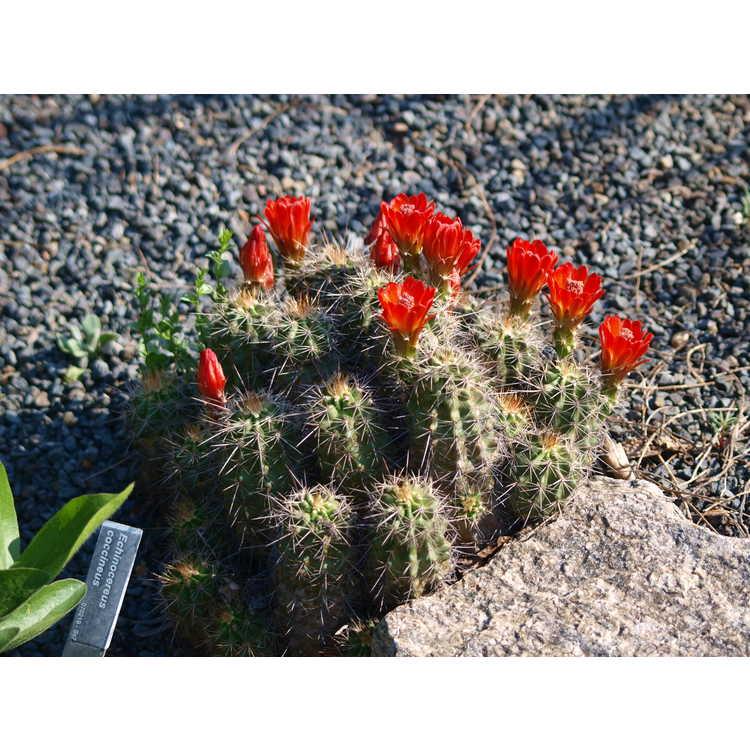 Echinocereus coccineus - scarlet hedgehog cactus