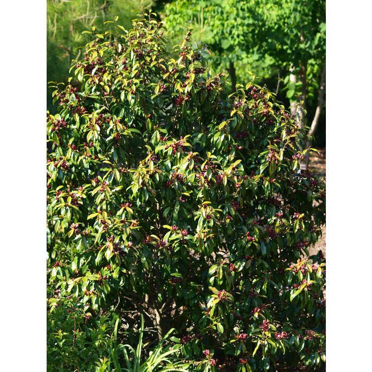 Magnolia figo var. crassipes 'Purple Queen' - purple-flowered banana shrub